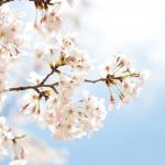静岡まつり2017日程と詳細は?夜桜乱舞と大御所花見行列が見どころ!