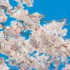 関東の桜名所2017開花はいつ?見頃やおススメスポットをご紹介!