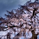 京都の桜名所2017開花はいつ?見頃やおススメスポットをご紹介!